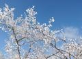 И зимой цветут деревья!