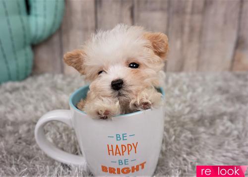 Собака в чайной чашке